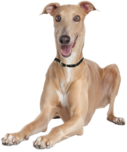 Greyhound Dog Adoption Ontario