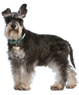 Miniature schnauzer rehome houston