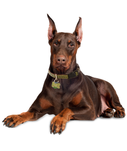 Doberman rehoming & rescue