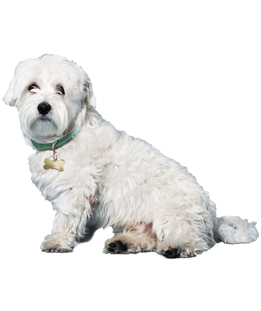 What do you need to know before you adopt a Maltese? We asked the experts!