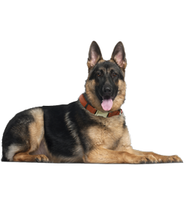 What do you need to know before you adopt a German Shepherd? We asked the  experts!