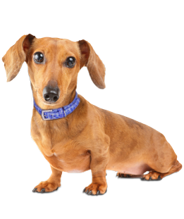 Dachshund Puppies - Dachshund Rescue and Adoption Near You