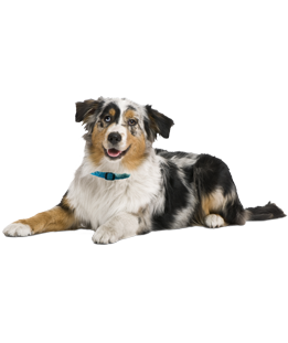What Do You Need To Know Before Adopt An Australian Shepherd We Asked The Experts